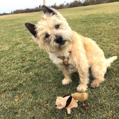 Cairn Terriers Are They Right For You Leash Your Fitness