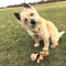 Cairn Terriers:  Are they right for you?